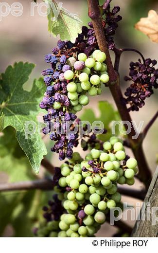 grillure de raisin vignoble bordelais gironde france 39781 photo la phototh que. Black Bedroom Furniture Sets. Home Design Ideas